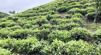 Bán đất vườn cà phê mặt tiền đường xã Lộc Thành
