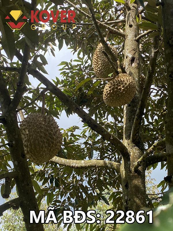 Lô đất vườn trồng sầu riêng đang thu hoạch trái